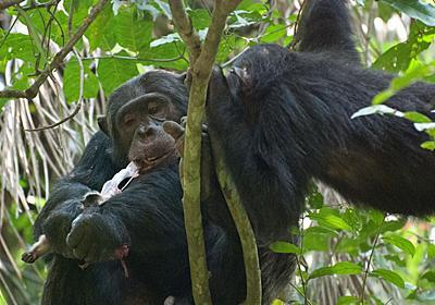 チンパンジーが好きな肉は脳? 初期人類も同様か | ナショナルジオグラフィック日本版サイト
