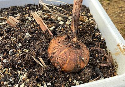 【実生6年目】グラジオラスの球根の掘り上げ〜種からどこまで成長した?〜 - アタマの中は花畑