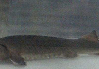 養殖チョウザメ110匹逃げ出す 宮崎県水産試験場、隣の農業用ため池に - 毎日新聞