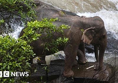 Thai elephant deaths: Do elephants risk their lives to save each other? - BBC News