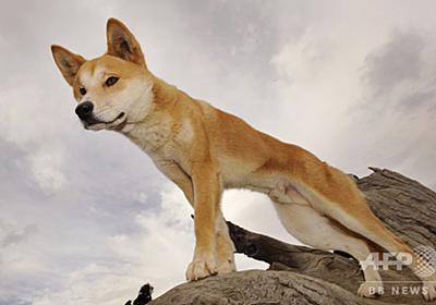 ディンゴは犬ではなく独自の種、豪研究者らが保全策の見直し求める 写真1枚 国際ニュース:AFPBB News
