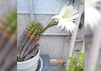 突然おばあさんに呼び止められて何かと思ったら、1年に一夜限りしか咲かない花を見せてくれた「咲かせるの難しいのにすごい」 - Togetter