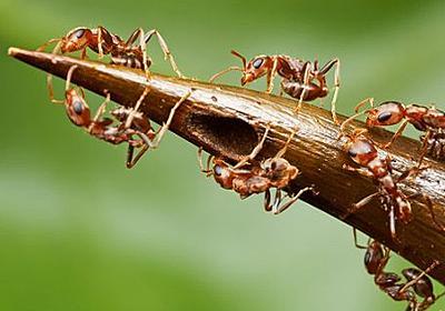 こいつはとんだハニートラップ。甘い樹液でアリを一生奴隷にする恐ろしい植物「アカシア」 : カラパイア