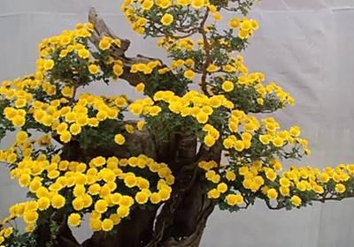 菊盆栽を通して日本とベトナムの架け橋になりたい 奈良県橿原市 - そして男は時計を捨てた・・・
