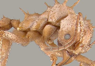 「生体鉱物アーマー」を持つ昆虫が発見される - GIGAZINE