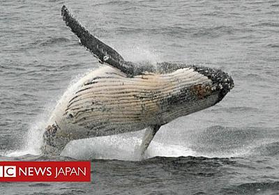 IWC、クジラ保護宣言を採択 商業捕鯨はもはや不要と - BBCニュース