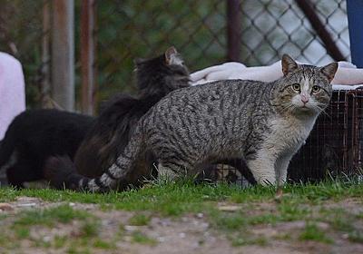 オーストラリア、毒入りカンガルー肉ソーセージで野良猫200万匹駆除へ : 海外の万国反応記@海外の反応