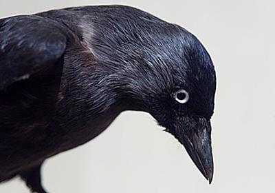 鳥の耳ってどうなってるの?カラスに耳を見せてもらったら、想像を超えるレベルの耳だった。 : カラパイア