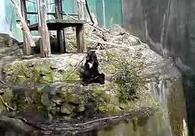 超絶くまさんバトン安佐動物公園