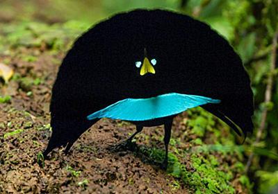発見! 軽やかに踊る新種の極楽鳥 | ナショナルジオグラフィック日本版サイト