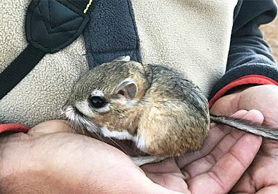 絶滅したと思われていたかわいい生き物「カンガルーネズミ」が32年ぶりに発見される(メキシコ) : カラパイア