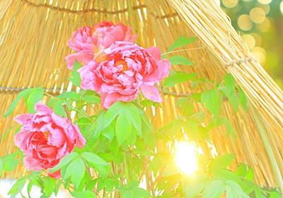 雪牡丹② - mhkj2's blog