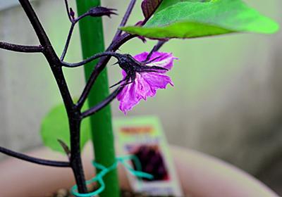 【プランター栽培】ナスの育て方(千両二号) 苗の植え替えから一番花の開花まで - 初心者が挑むプランター野菜日記