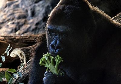 「類人猿診断」をしたら保守的なゴリラタイプと診断された。 - 超メモ帳(Web式)@復活