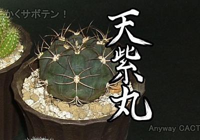 天紫丸Aの根の様子と植え替えついでにネジラミ対策【サボテン ギムノカリキウム属】 - とにかくサボテン!