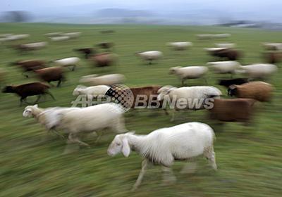 羊飼いも安心、オオカミ襲来をSMSでお知らせ 写真1枚 国際ニュース:AFPBB News