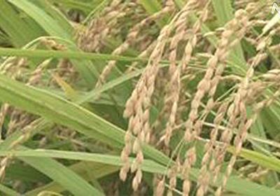 新型コロナ影響で「コメ余り」の可能性 外食向け需要減で   新型コロナ 経済影響   NHKニュース