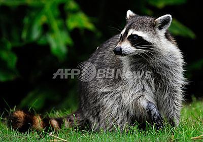 臓器ドナーと患者、アライグマ媒介の狂犬病で死亡 米医学誌 写真1枚 国際ニュース:AFPBB News