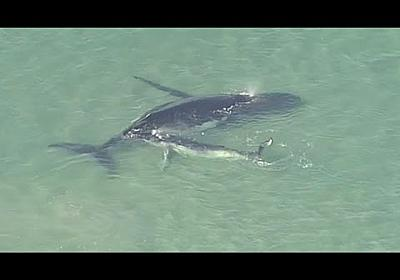 A whale calf helps its stranded mother free itself from shallow waters