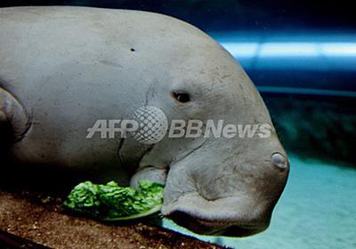 レタスのケーキでお祝い、シドニー水族館開館21周年 写真3枚 国際ニュース:AFPBB News