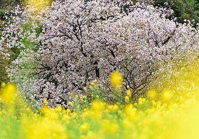 もうすぐ春ですね。日本三大桜を知っていますか? | GetNavi web ゲットナビ