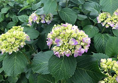 三重県『なばなの里』紫陽花ロード 種類ありすぎ~。綺麗すぎ~。 - 旅の先には福がある