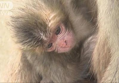 痛いニュース(ノ∀`) : 猿に「シャーロット」とつけた動物園が困惑 「お祝いの意味でつけたのになぜ批判されるのか…」 - ライブドアブログ
