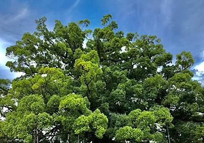【クスの木】寂心さんの樟|カメラとおでかけ