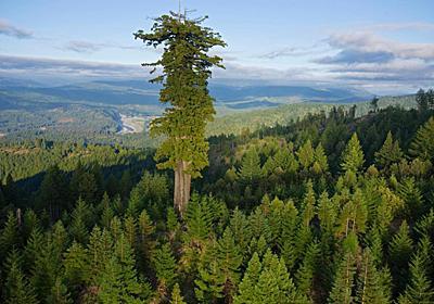 世界で巨木が死んでいる、115年間で原生林の3分の1超が消失 | ナショナルジオグラフィック日本版サイト