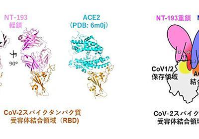 北大、新型コロナをはじめとするコロナウイルス全般に有効な新抗体を発見 | TECH+