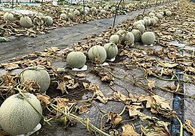 悪質な犯罪行為があり、メロンハウス6棟が全滅しました。   -北海道・富良野   感動野菜産直農家 寺坂農園ブログ