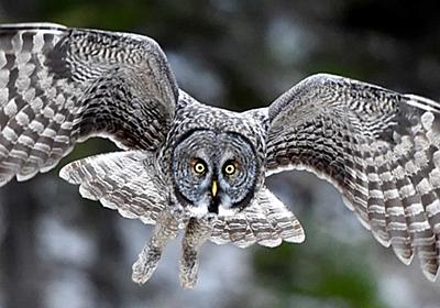 Great Gray Owls at Jim's Place - live owl camera from Montana | Explore.org