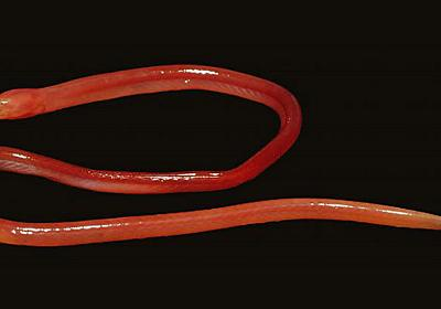 New species of blind eel that burrows through the soil discovered  | Natural History Museum