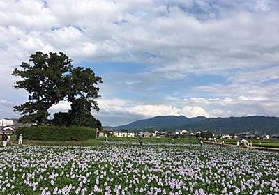 飛鳥時代建立の本薬師寺跡に咲き誇る紫の花・ホテイアオイ - kumakuma blog   クマ子の奈良歩き