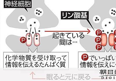 「眠気の正体」ついに判明 神経細胞のたんぱく質が変化:朝日新聞デジタル